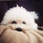 Bichon Frise best small dogs for kids non shedding