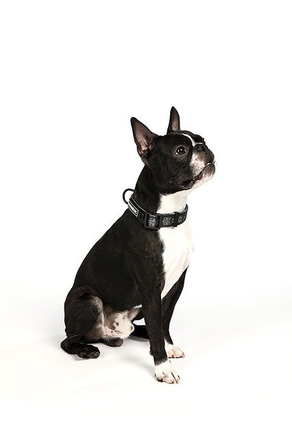 Boston Terrier - one of the popular small dog breeds
