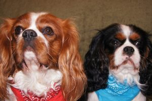 9 best small dog breeds for families - two cavalier king charles spaniels