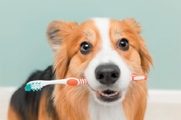 Dog with toothbrush in mouth – how can I help my dog's dental health?