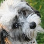 The playful Havanese is one of the 9 best small breed dogs for families