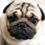 Cute pug dog is one of the best to own