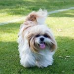 Shih Tzu dog on grassy area