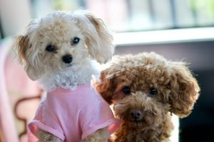 9 best small dog breeds for families - toy poodles